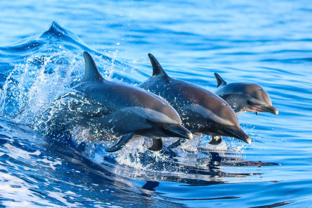 Kiluan Bay, Play With The Bottlenose Dolphins and Long Snouted Spinner Dolphins
