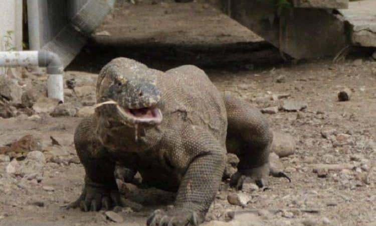 Komodo Dragon, The Indonesian Endemic Animal