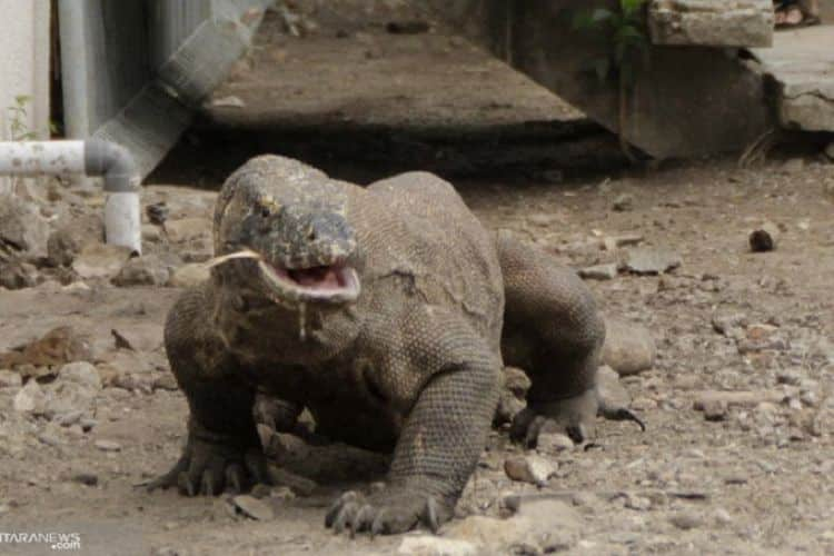 Komodo Dragon, The Indonesian Endemic Animal