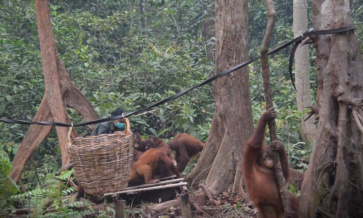 4 Places to See Orangutans in East Kalimantan