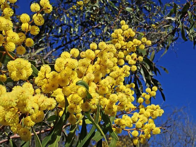 The Wattle flower